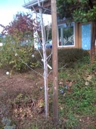 tree stakes horticulture of staking treeswater wise landscaping