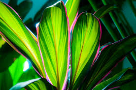 ti plant adding tropical colors hawaiian ti plant cordyline fruticosa