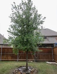 live oak tree dallas treeland nursery