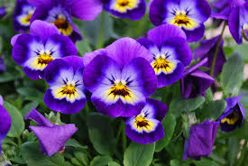 plants that are native to australia how to grow violas in a home garden