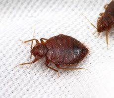 One Bed Bug Bed Bug Exterminators And Pest Control Specialists Canine