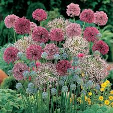 allium flowers 168 best all about alliums agapanthus images on