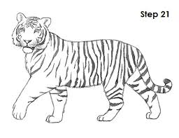 tiger drawing 21 tigers tiger drawing tigers and