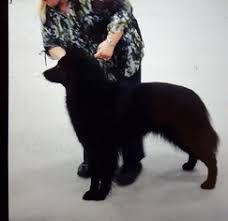 belgian sheepdog breeders in illinois view ad belgian sheepdog puppy for sale illinois harrisburg usa
