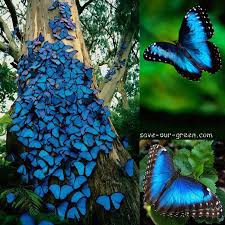 blue morpho butterfly save our green