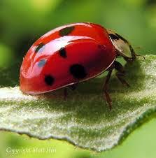 How To Find Ladybugs In Your Backyard Amazon Com 1500 Live Ladybugs Hirt U0027s Nature Nectar