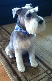 schnauzers hair cuts 433 best grooming health info for schnauzers images on pinterest