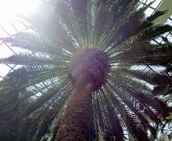 tree symbolism palm tree symbolism symbolic meanings blog by avia venefica