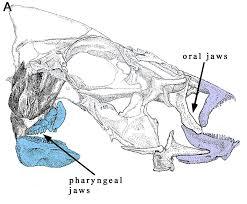 fish jaw wikipedia