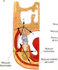 anatomía quirúrgica bucodentaria zona de estudio odontologico