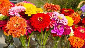 zinnia flowers how to grow bright beautiful zinnias rodale s organic