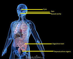 Anatomy And Physiology Human Body 42 Best Anatomy Physiology Images On Pinterest Nursing Schools