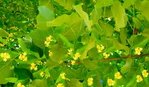 linden flower 12 soothing benefits of linden flower tea relax into success