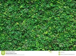 green climbing plant background stock photo image 51826154