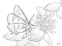 male colorado hairstreak butterfly coloring page free printable