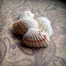where to buy seashells seashells for sale small sea shells broad ribbed carditid