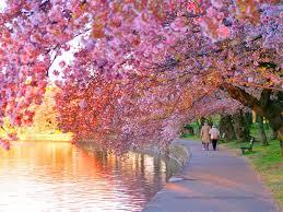 national cherry blossom festival weekendguidetofun com