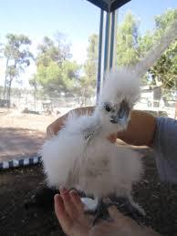 backyard poultry forum u2022 view topic silkie boy or pics