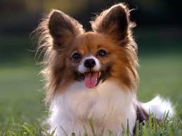 cute boxer puppy wallpaper