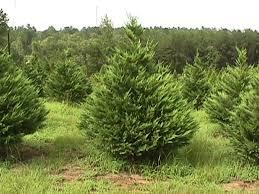 christmas tree prices mill hollow christmas tree prices