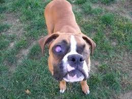 boxer dog for adoption view ad boxer dog for adoption pennsylvania lancaster usa
