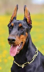belgian shepherd vs pitbull fight dog breed stereotypes myth vs reality u2013 animal hearted apparel