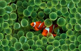 clown fish wallpapers clown fish stock photos