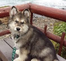 belgian shepherd x malamute best 25 alaskan shepherd ideas on pinterest husky wolf mix