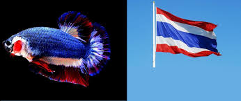 Thai Flag Thai Fish With National Flag Colours Sold For Record Sum