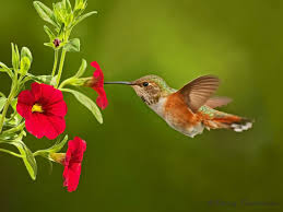 hummingbird is small type of bird but it u0027s colorful and so lovely