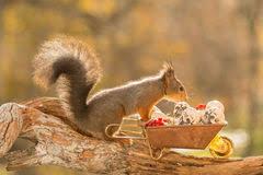 squirrel on wheelbarrow with a skeleton stock photo image 101272312