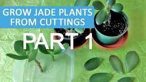 Grow Jade plants from cuttings and leaves PART 1