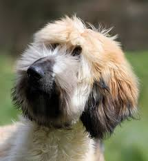 afghan hound king of dogs the 235 best images about afghan hound on pinterest amazing dogs