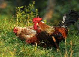 Best Laying Hens For Backyard Best Laying Hens Backyard Ranch Pinterest Laying Hens And