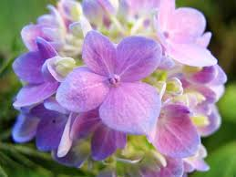 flower hydrangea hydrangea wilt logic floraphilia net flower photo