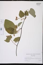 native plants of tennessee aristolochia tomentosa species page isb atlas of florida plants