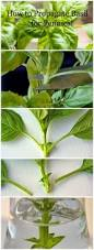 best 25 basil plant ideas that you will like on pinterest water