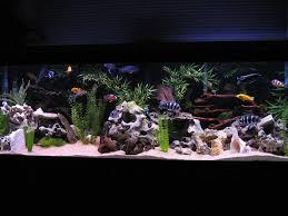 Home Aquarium Decorations Best 25 Cichlid Aquarium Ideas On Pinterest Cichlids African