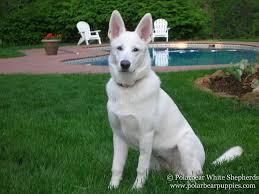 cost of a belgian sheepdog white german shepherd dogs u0026 puppies polarbear