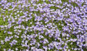 alan titchmarsh on growing aubrieta garden life u0026 style