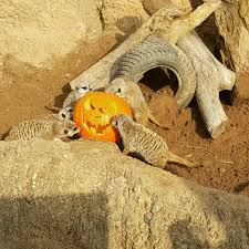 Smashing Pumpkins Tabs Today by Happy Halloween Zoo Animals Crush Eat And Play With Pumpkins
