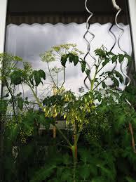 aliciouslife my balcony garden blooming growing aliciouslog