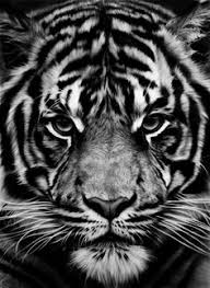 collection of 25 black and white angry tiger fantsy on back
