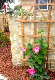 mandevilla vine with trellis the great outdoors pinterest