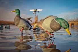 Duck Migration Map Goose Migration