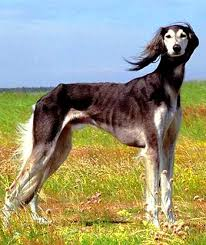 afghan hound agility saluki breed info characteristics traits personality