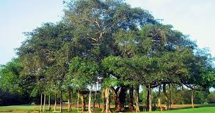 the tree of knowledge should be reimagined as a banyan
