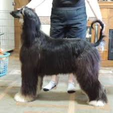 afghan hound sale adorah afghan hounds located in burleson texas puppies for sale