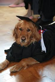 dog graduation cap and gown graduation gown for guide dog