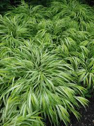 plants native to japan hakonchloa macra hakone grass japanese forest grass u0027aureola